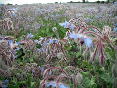 Bright Blue Borage Flowers